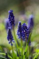 Muscari (ΞSSΞ®®Ξ) Tags: ξssξ®®ξ pentax k5 spring flowers 2016 lazio italy outdoor plant muscari garden bokeh flower depthoffield green purple smcpentaxm50mmf17