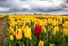IMG_1884 (Eupeodes) Tags: bloemen bollenveld texel tulpen