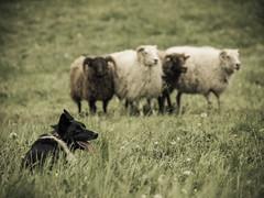 P4230580 (zullo_stefano) Tags: dog pet farm sheep sheepdog herding workingdog shepperd italy nature green fiield olympus e5 zuiko training border bordercollie