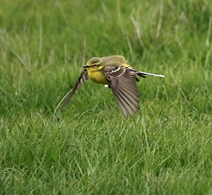 Yellow Wagtail (acerman17) Tags: wildlife nature flying flight wagtail yellow bird meadow