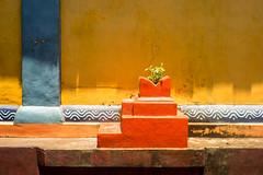 tulsi (kuuan) Tags: manualfocus mf ltm m39 canon rangefinder f14 50mm 1450 f1450mm canonltmf1450mm ilce7 a7 sony alphaa7 karnataka india colorful tulsi plant temple wall templewall