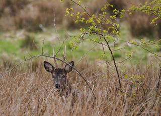 Roe deer buck-