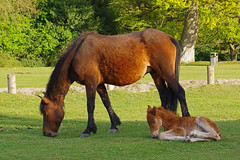 First foal of 2017 (David Blandford photography) Tags: newforest nomansland bramshawwoods wiltshire hampshire