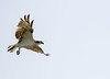 Osprey (Pandion haliaetus) (piazzi1969) Tags: elements osprey pandionhaliaetus raptors greifvögel avifauna fauna wildlife iran bandarabbas hormozgan nature canon eos 7d arkii ef100400mm birds vögel middleeast