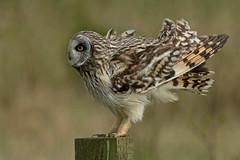 Short-eared Owl (MOZBOZ1) Tags: shortie seo owl shorteared asio flammeus
