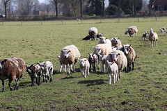 going inside  Dinner time (excellentzebu1050) Tags: sheepslambsinthefieldmarch2017 outdoor sheep sheeps lambs field farm animals newborn newlife coth5