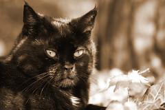IMG_012076 - Neighbourhood cat (Monique van Gompel) Tags: tamronsp90mmf28dimacro11vcusd tamronsp90mm canoneos80d cat kat buurtkat neighbourhoodcat portrait portret catportrait 7dwf sepia