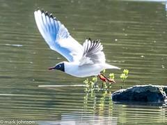 Black headed Gull taking off (dudutrois) Tags: black heaqed gull wwt llanelli