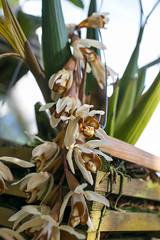 Kesähelokämmekkä, Coelogyne dayana. (Luurankorotsi) Tags: orchid orchids turunyliopistonkasvitieteellinenpuutarha puutarha botanical turkuuniversitybotanicalgarden garden botanicalgarden flora flower bloom ruissalo theislandofruissalo turku archipelago kesähelokämmekkä coelogyne dayana coelogynedayana finland varsinaissuomi