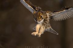 Pound for Pound (Khurram Khan...) Tags: greathornedowl owl birdsofprey birdphotography wildlife wildlifephotography wild wwwkhurramkhanphotocom khurramkhan nikon nikkor naturephotography newjersey ilovewildlife iamnikon sunset explore