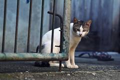 Cat next door (315Edith) Tags: canon 70d 135mmf2l cat neighborhood gate