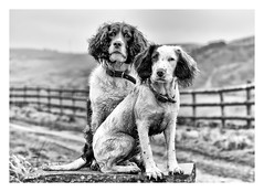 My Posing Pupperilos! (Missy Jussy) Tags: rupert rupertbear mollie molliemunch dog animals puppy englishspringer springerspaniel spaniel mono monochrome bw blackwhite blackandwhite canon canon5dmarkll fence path hills models macro littledoglaughednoiret