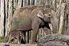 A new life.... (K.Verhulst) Tags: elephant elephants olifanten aziatischeolifant asiaticelephants amersfoort dierenparkamersfoort yunha