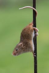 Pole Dancer (Tim Melling) Tags: micromys minutus harvest mouse pole dancer timmelling
