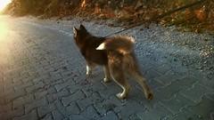 Husky 🐕❤ (igor.simjanovski) Tags: husky walk mountain sunnyday awesomeness
