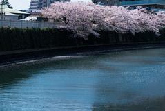 Late Farewell (H.H. Mahal Alysheba) Tags: sakura cherry cherryblossom river water tokyo japan flower leica dlux dluxtyp109