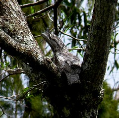 Papuan Frogmouth (Pete Read) Tags: papuan frogmouth papau new guinea