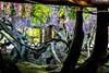DSC_1592 (sayo-tsu) Tags: 藤 wisteria 牛島のフジ 春日部市 埼玉県 kasukabe saitama 特別天然記念物