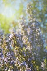 Rosmarinus officnalis (Nikola Mijić, storm chaser) Tags: capljinaa hercegovina bosniaandherzegovina nikolamijićphotography nikon nature flower ruzmarin