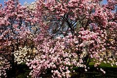 DSCF0102a_jnowak64 (jnowak64) Tags: poland polska malopolska cracow krakow krakoff wzgorzewawelskie natura przyroda krzew magnolia kwiaty wiosna mik