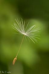 Make a wish (ellie.taylor30) Tags: spring nikonnaturephotography nikon nature flickrnature macrodreams macro hampshire