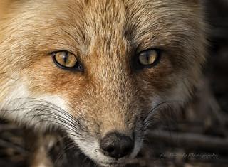 Renard roux / Red Fox / Vulpes vulpe