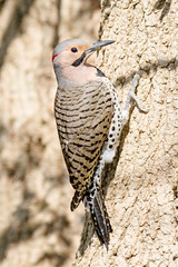 Northern Flicker (tresed47) Tags: 2017 201704apr 20170416chestercountybirds birds canon7d chestercounty content flicker folder pennsylvania peterscamera petersphotos places takenby us ngc