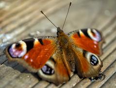 welcome back, Bo !  :) (Simple_Sight) Tags: bo closeup macro butterfly spring garden ngc npc
