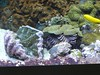 Tridacna sp (Merintia) Tags: oceanográfico oceanográfic valencia acuario cautividad captivity captive tridacna