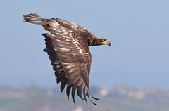 Determined! (bmse) Tags: juvenile bald eagle bolsa chica bmse salah baazizi wingsinmotion canon 7d2 400mm f56 l immature