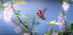 flowers and bird 花鳥 (T.ye) Tags: annas hummingbird flowers white purple animal wildlife plant speed