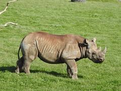 Rhino (Sharon B Mott) Tags: rhino savetherhino blackrhino rhinoceros animal yorkshirewildlifepark april