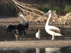 A stained Australian Pelican at Wellard Wetlands (WA47) Tags: wellardwetlands wellard westernaustralia australia australianpelican pelecanus pelecanusconspicillatus ciconiiformes pelecanidae oilstain