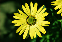 Yellow on green - Quinta  flower (Pensive glance) Tags: daisy marguerite flower fleur plant plante