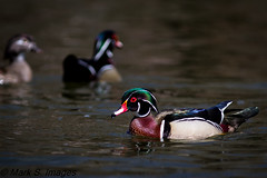 Wood Ducks (Mark S. Images) Tags: woodduck lehighvalley