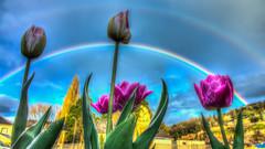 Tulipes en arc en ciel (didier.camus) Tags: arcenciel rainbow tulipe fleur nature hdr artistique