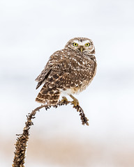 _CA58632 (coloradochris) Tags: burrowingowl rma birds spring snow