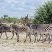 Steppenzebras / Plains Zebras