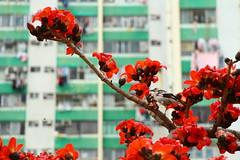 IMG_0284 - 彩雲邨 Choi Wan Estate (Mak_Ho) Tags: 木棉 bombaxceiba bombaxmalabaricum 英雄樹 彩雲邨 choiwanestate 九龍 kowloon香港 hongkong 攝影 photography 植物 vegetation 佳能 canon 700d 花 flower