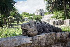 Tulum Ruins iguana