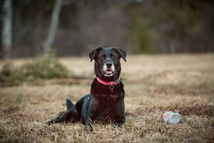 Pebbles Toy (Wild.Woods.Photography) Tags: sillydog dog pebbles femaledog blacklab mansbestfriend furbaby bestfriend dogtoy dogsarefamily canon canon70200f28lll