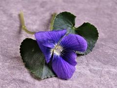 Common Blue Violet (Viola sororia) (Lana Pahl / Country Star Images) Tags: flickrnature natureforallfloraandfauna stilllifestudies yourwayofstilllife