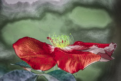 Planeando (seguicollar) Tags: imagencreativa photomanipulación art arte artecreativo artedigital virginiaseguí flower flor pétalos piscilos polen planeando rojo red amarillo verde green