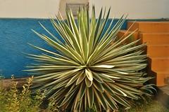Caribbean Agave (Agave/Piteira do Caribe) (Higino Silva) Tags: folhas leaves agave ornamental jardinagem