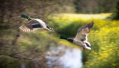 double duck (Johan Verrips) Tags: vliegend duck eend vliegen loet gimp