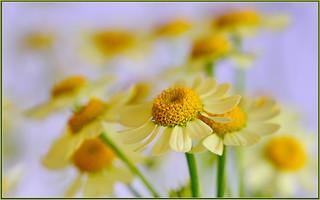 Tiny Sunflowers