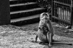 Mother's love (LazyKC) Tags: child mom portrait outdoor animals animal hug love day d7000 baby mother nikon blackwhite malaysia monkey