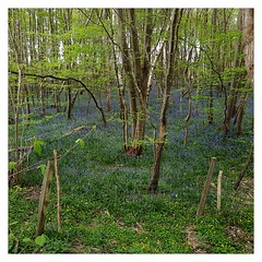 More bluebells (éric) Tags: bluebell cuckoo trail cycling ncn ncr21 square imagedatasmg935f150f1740 uploadscript imagemagick im:opts=level5100075crop3026x302610080 photo:id=33925895641ed940f98afojpg