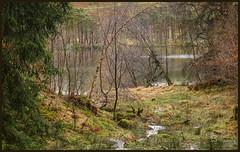 P1160428-1 - Primeval? (dangle earrings) Tags: tarnhows primeval wet rain moss dangleearings panasonicdmcgx8 bankwater trees