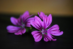 La bellezza dell'ordinario (~Miel) Tags: fiore fiori flower flowers natura nature tamron macro af70300 70300 nikond5200 nikon viola violet